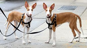 Ibizan Hound - Two 6 months old Ibizan hounds