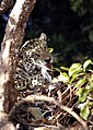 9022 jaguar with prey low res JF.jpg