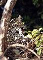9022 jaguar with prey low res JF.jpg