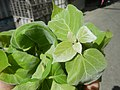 9766Ornamental plants in the Philippines 47.jpg