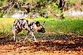 AFRICAN WILD DOG (14049786762).jpg