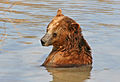 A Brown Bear in Water 2.jpg