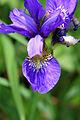 A Maine summer Iris.jpg