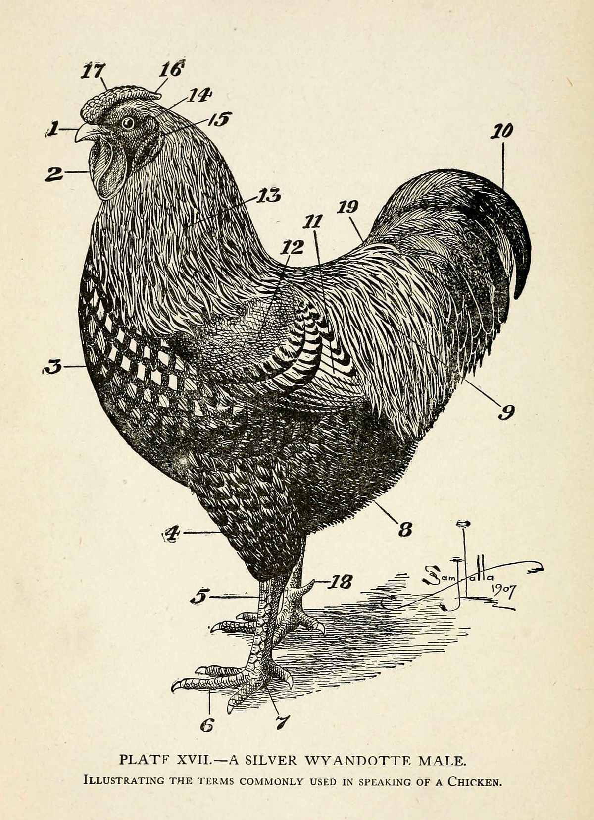 List of poultry feathers - Wikipedia