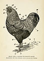 A Silver Wyandotte Male, Illustrating the terms commonly used in speaking of a Chicken.jpg