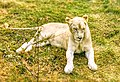 A Sitting White Lion.jpg