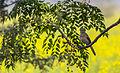 A bird in India (8306204801).jpg