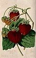 "A fruiting ""Ingram's Frogmore Late Pine"" strawberry plant (Fr Wellcome V0044427.jpg"