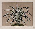 A leafy plant (Chlorophytum elatum), related to the spider p Wellcome V0044412.jpg