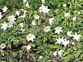 A patch of wood anemones - geograph.org.uk - 730742.jpg