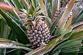 A pineapple on its parent plant at Taiwan 20210228.jpg