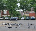 A rook among the pigeons in Rugby - geograph.org.uk - 1305204.jpg