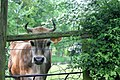 Aachen, Nordrhein-Westfalen, Kuh am Weidetor -- 2006 -- Tiere jpg.jpg