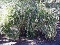 Abelia chinensis 0zz.jpg