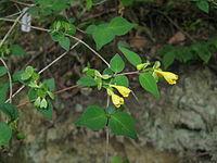 Abelia serrata3