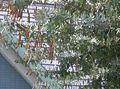 Acacia baileyana3.jpg
