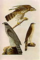 Accipiter cooperii audubon.jpg