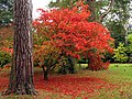 Acer at Westonbirt - geograph.org.uk - 69625.jpg