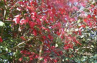 Phu Kradueng National Park - Acer calcaratum leaves in Phu Kradueng