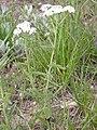 Achillea millefolium (3287842250).jpg