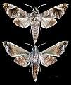 Acosmeryx anceus subdentata MHNT CUT 2010 0 98, Mudumalai National Park, Tamil Nadu.jpg