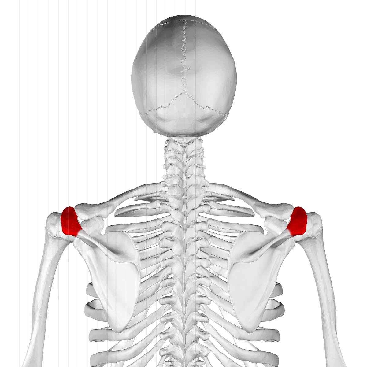 Fein Acromion Fotos - Menschliche Anatomie Bilder - madeinkibera.com