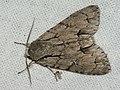Acronicta tridens - Dark dagger - Стрельчатка трезубец (40161156855).jpg