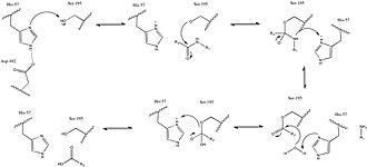 Acrosin - Image: Acrosin Catalytic Mechanism