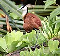 Actophilornis africana Masoalahalle.jpg