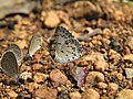Acytolepis puspa Horsfield, 1828 – Common Hedge Blue at Aralam Wildlife Sanctuary Jan 2016.jpg