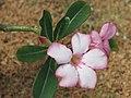 Adenium obesum (Jardin des Plantes de Paris) - flower.jpg