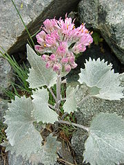 Adenostyles leucophylla.JPG