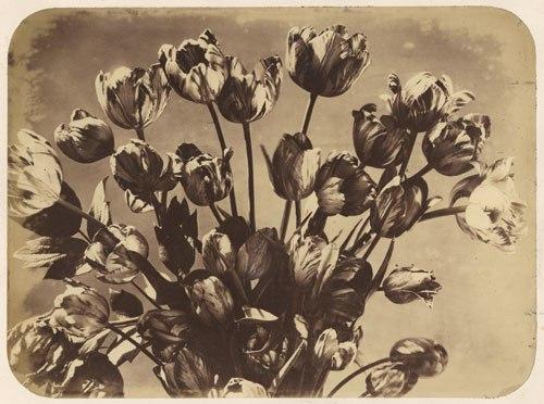 Adolphe Braun Tulpen