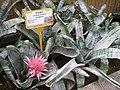 Aechmea fasciata - Hong Kong Botanical Garden - IMG 9671.JPG