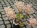 Aeonium lancerottense.jpg