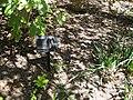 Aesculus Californica Plant.jpg