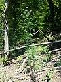 Aethusa cynapium subsp. elata sl11.jpg