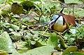African Jacana (Actophilornis africanus) male (32908369918).jpg