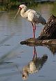 African Spoonbill, Platalea alba at Rietvlei Nature Reserve, Gauteng, South Africa (22806485255).jpg