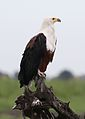 African fish eagle, Haliaeetus vocifer, at Chobe National Park, Botswana (33516610491).jpg