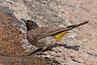 African red-eyed bulbul species of bird
