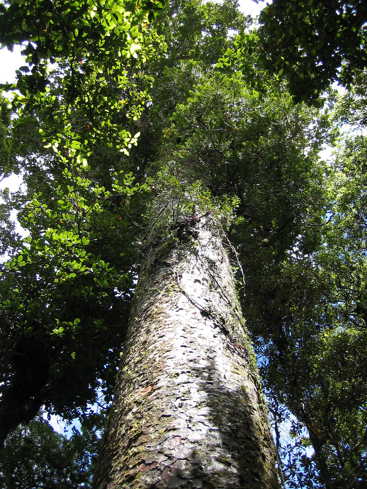 Agathis Sawn Timber ~ Flora und vegetation neuseelands wikipedia