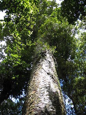 Agathis australis - A kauri at Waipoua Forest