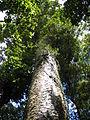 Agathis australis Waipua 2005 a.JPG