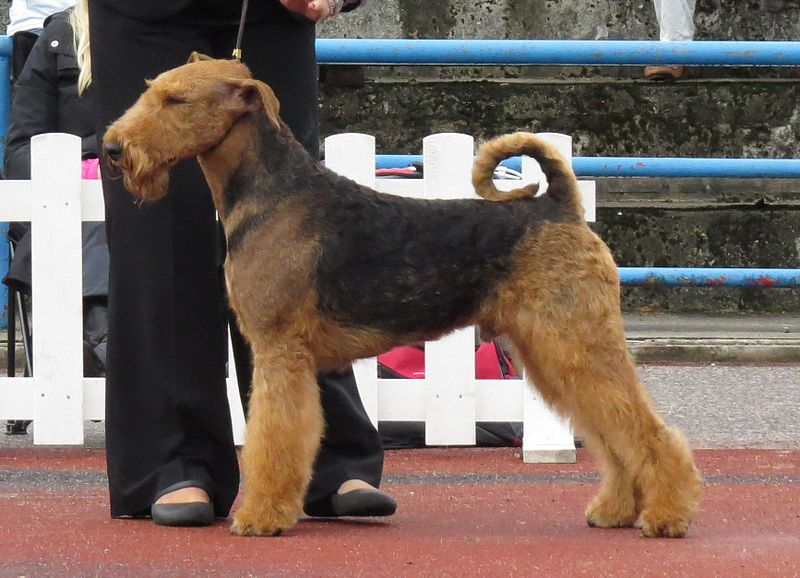 Airedale Terrier in stand 2.JPG