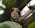 Airey hoopoe1 - Flickr - Lip Kee.jpg