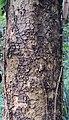 Albizia chinensis bark.jpg