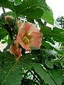 Alcea rosea (3).jpg