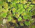 Alchemilla acutiloba plant (06).jpg
