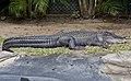Alligator at rest-1and (3543367927).jpg